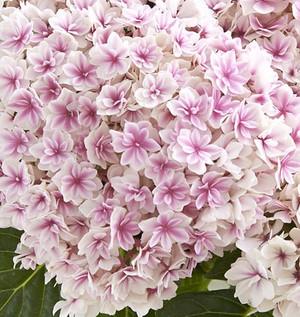 びっしりと花がついてこれは淡いピンク色